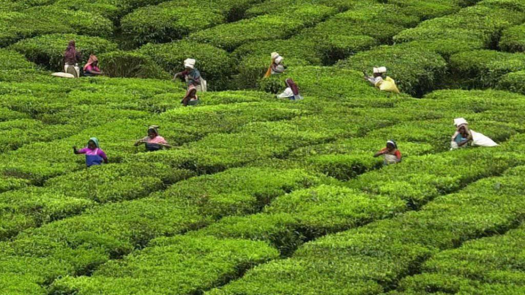 Arbeit in indischer Tee-Plantage (Archiv)