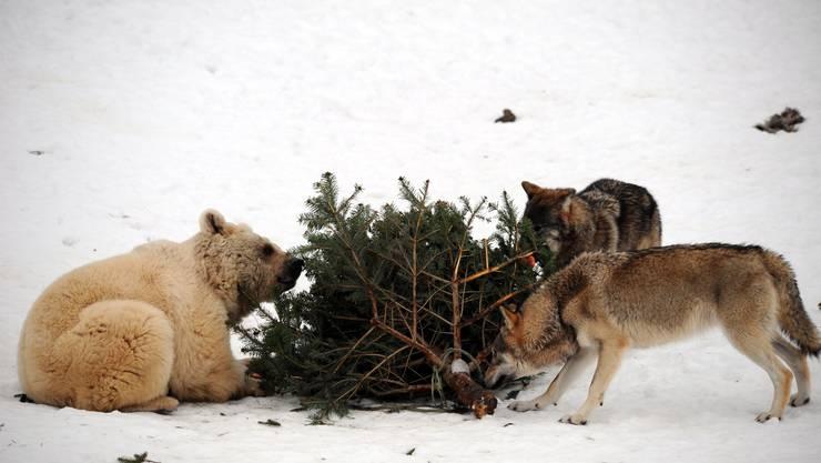 Sind vom neuen Jagdgesetz nicht betroffen: Bären und Wölfe im Tierpark Goldau. Ihre Artgenossen gelangen nach erfolgreichem Referendum vors Volk.