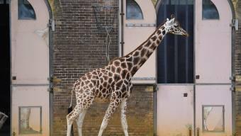 Eine Giraffe im geschlossenen Londoner Zoo während der Coronavirus-Pandemie. (Archivbild)