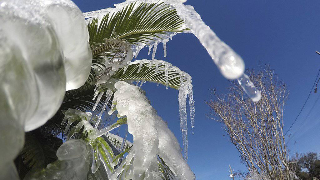 Eiskälte in Florida: Von den Bäumen regnet es gefrorene Leguane. (Symbolbild)