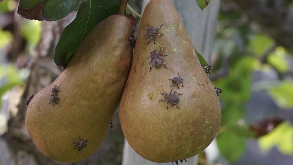 Marmorierte Baumwanze verursacht Millionenschäden im Obstbau