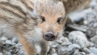 Wildschweine im Aargau. Wie gefährlich sind sie? (Symbolbild)