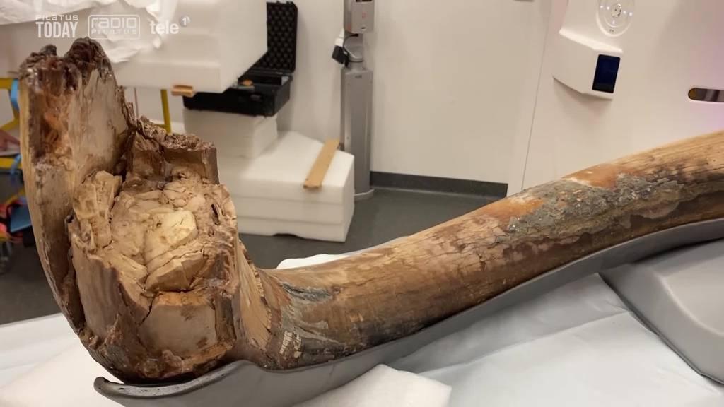 Neue Erkenntnisse zum «Zuger Mammut»
