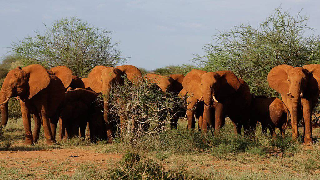 Die meisten Elefanten Afrikas leben in Reservaten. Leider sind sie auch dort vor Wilderern nicht sicher. (Archivbild)