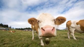 Kühe hören gut, reagieren aber später. Dies könnte bedeuten, dass sie durch die Glocken schwerhörig wurden. istockphoto