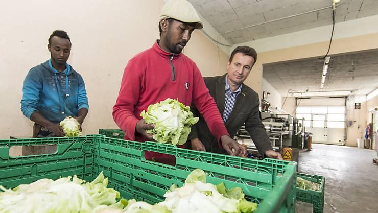 Zwei Flüchtlinge packen im Rahmen des Projekts Salat auf einem Hof in Füllinsdorf BL ab. (Archivbild)