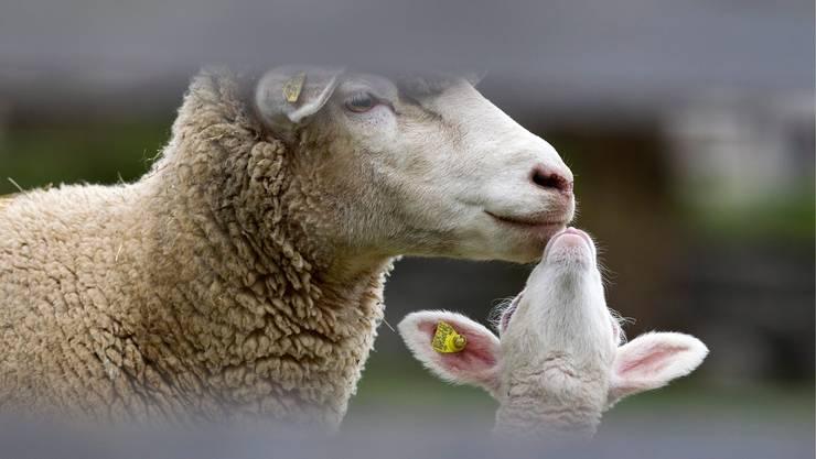 Der Mann, der mutmasslich Schafe und weitere Tiere gestohlen hat, sitzt nun hinter Gittern.