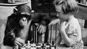 Einer der vielen vermenschlichten Schimpansen: Fifi aus dem Londoner Zoo, welcher mit der sechsjährigen Susan Duncombe an einer Tea-Party im Jahr 1955 Schach spielt.