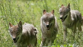 Ein Jungwolf ist bei Flims von einem Auto überfahren worden. (Symbolbild)