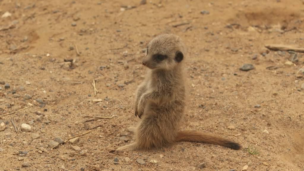 Blickfang im Walter Zoo: Nachwuchs bei den Erdmännchen