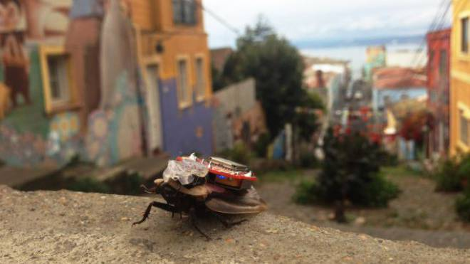 Eine mit Mikrochip ausgerüstete Kakerlake  wird per Fingerwisch auf dem Smartphone gesteuert. Foto: ho