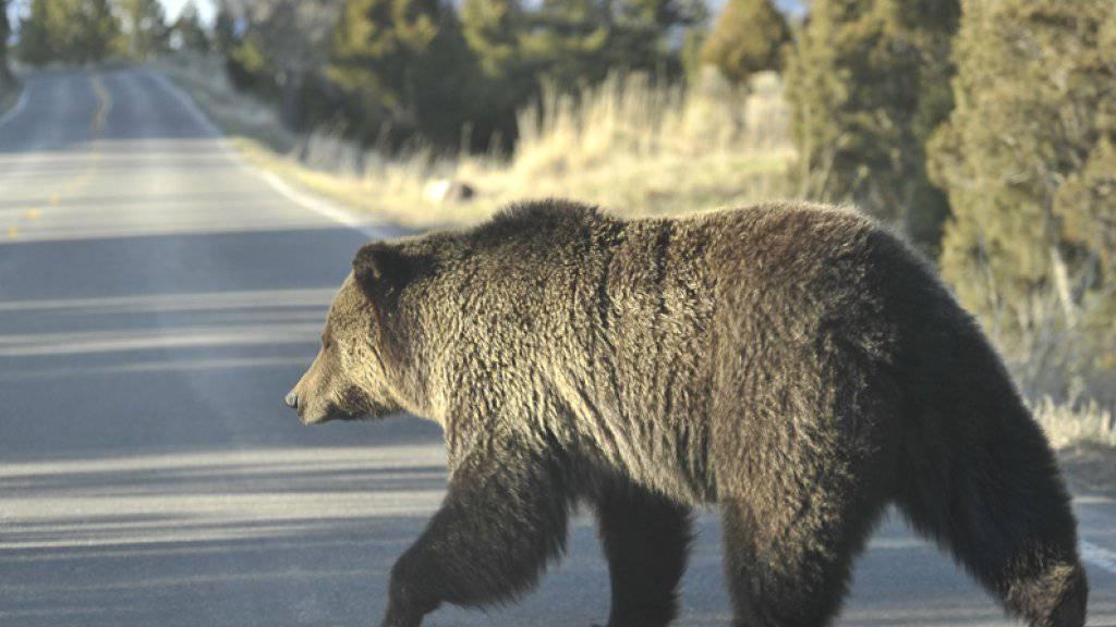 In den Nordwest-Territorien Kanadas leben nach Schätzungen von Behörden 4000 bis 5000 Grizzlybären. (Symbolbild)