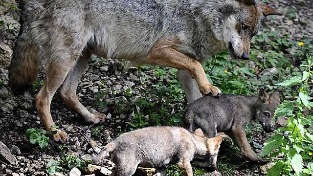 Wölfin mit zwei ihrer Jungen (Archiv)