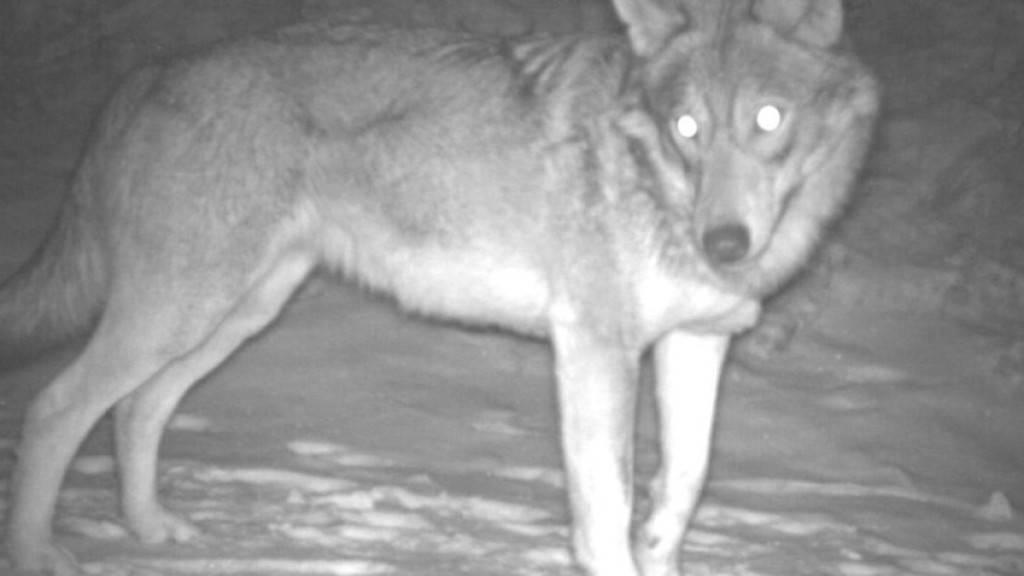 Wölfe siedeln sich dort an, wo es Rot- und Rehwild gibt