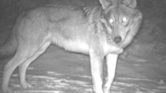 Ein Wolf, aufgenommen von einer der über 100 Fotofallen, die für ein Forschungsprojekt im Kanton Wallis installiert wurden. (© Institut für Ökologie und Evolution, Universität Bern)