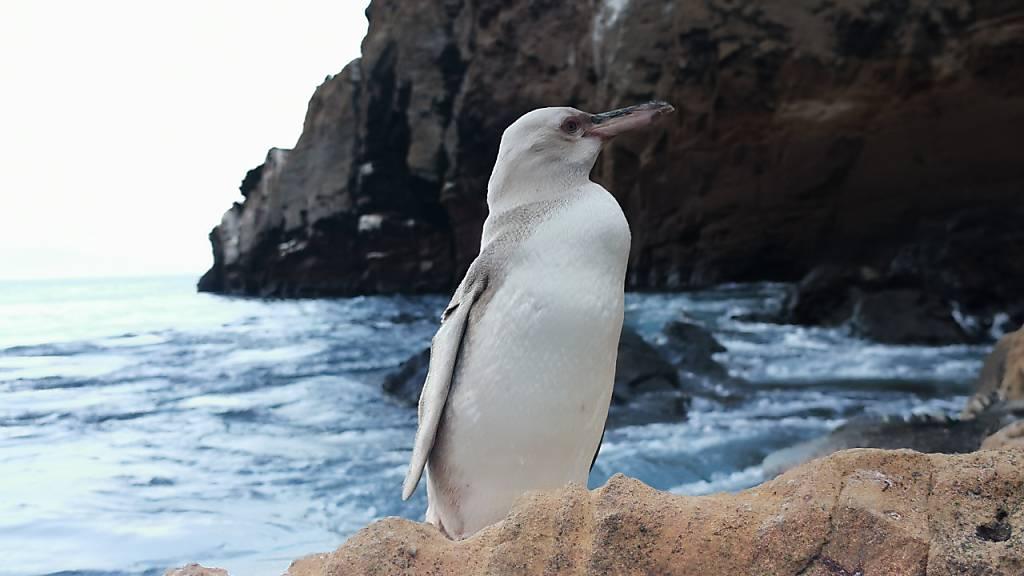 Seltener komplett weisser Pinguin entdeckt
