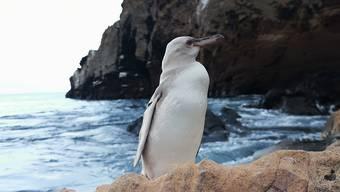 HANDOUT - Ein weißer Pinguin steht in Punta Vicente Roca, nördlich der Insel Isabela. Ein Touristenführer erspähte das seltene Tier auf Isabela, der größten Insel des Archipels. (zu dpa «Seltener komplett weißer Pinguin auf Galapagos-Inseln entdeckt» vom 27.11.2020) Foto: Jimmy Patino/Prensa Galapagos/dpa - ACHTUNG: Nur zur redaktionellen Verwendung im Zusammenhang mit der aktuellen Berichterstattung und nur mit vollständiger Nennung des vorstehenden Credits