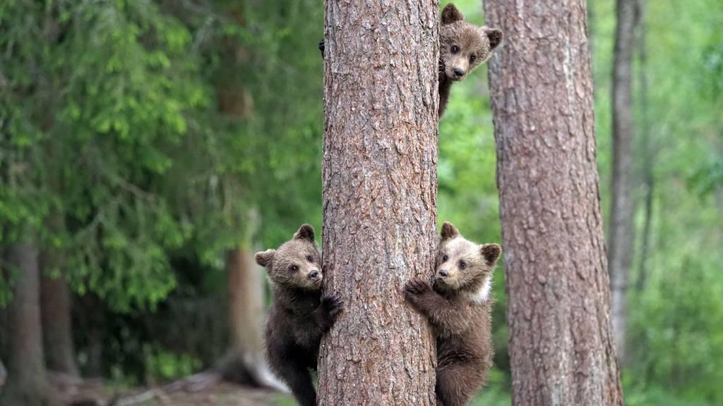 Bei den Bären in Finnland