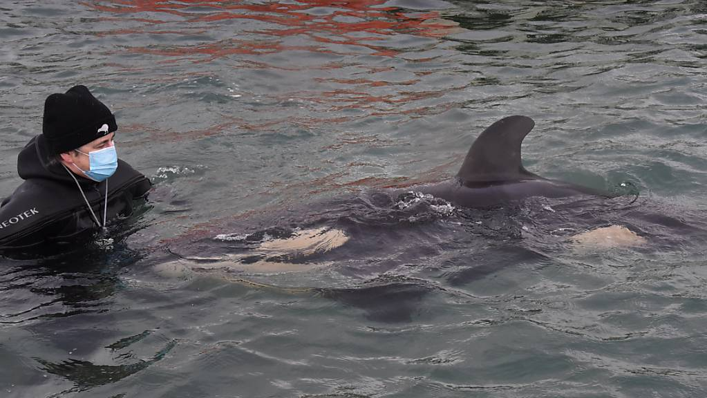 Freiwillige helfen einem Baby-Orca in Neuseeland.