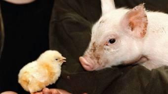 Der Nutztierbestand in der Schweiz hat sich letztes Jahr nicht gross verändert: Es gibt etwas weniger Schweine, dafür mehr Hühner. (Symbolbild)