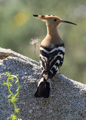 Doch die neu gestalteten Biotope sind nicht nur für den Steinkauz. Es gibt weitere Obstwiesen-Vögel, die davon profitieren - wie zum Beispiel der Wiedehopf.