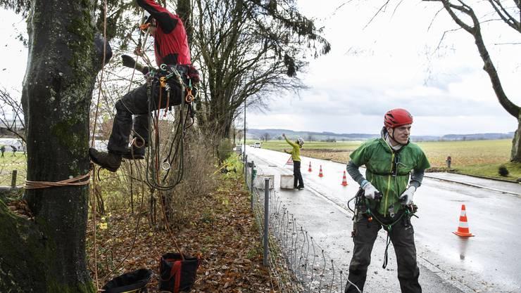 Früher brauchte es Hebebühnen. Dieses Jahr übernehmen die kletternden Baumpfleger das Bäumeschneiden in Grenchen