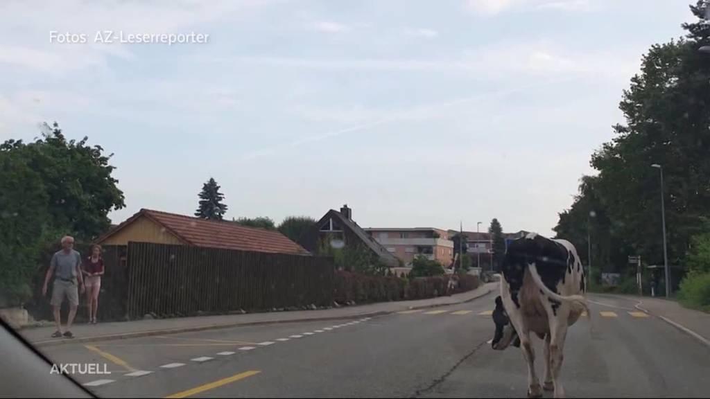 """Kühe ausgebüxt: """"Das darf nicht wahr sein!"""""""