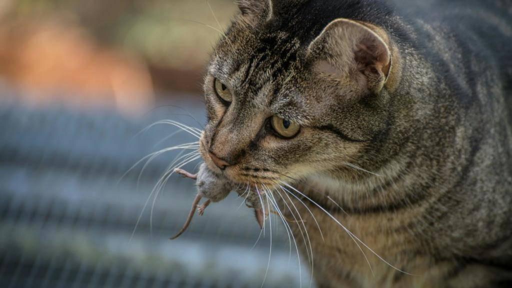 Unterwegs im Dienste der Wissenschaft: Katzen jagen Mäuse - und die Fachleute finden mehr über die Verbreitung der kleinen Nagetiere heraus.