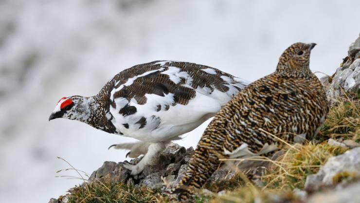 Das Federkleid des Alpenschneehuhns (links das Männchen, rechts das Weibchen) ist auf die Umgebung abgestimmt. Im Sommer ist es grau-braun wie der Fels, im Winter bei beiden Geschlechtern schneeweiss.