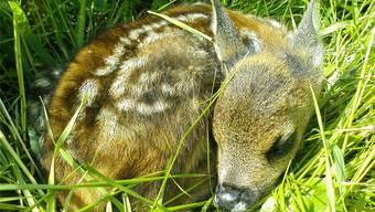 Ein fast zwei Wochen altes Rehkitz drückt sich bei Gefahr flach auf den Boden, statt zu flüchten. Dieser Instinkt wird den Tieren bei der Grünlandmahd zum Verhängnis.