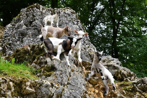5 der 16 jungen Geisslein beim Herumtollen im Tierpark Mühletäli.