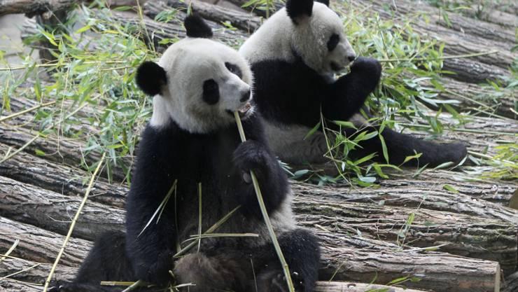 Pandadame Huan Huan (vorne) im Zoo von Beauval, Frankreich, ist schwanger. (Archiv)