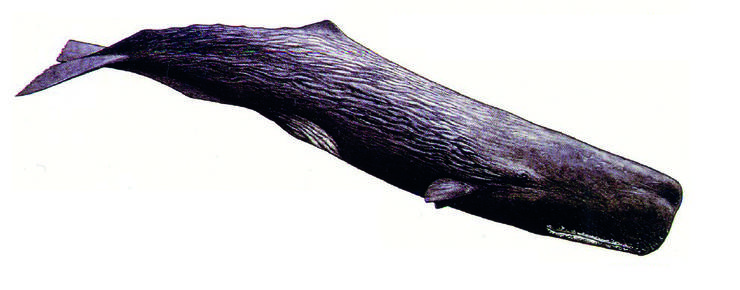 Ein Tiefseetaucher ist der Pottwal. Diese stark gefährdeten Tiere werden bis zu 18 Meter gross. Die Population im Mittelmeer wird auf einige hundert Tiere geschätzt. Es wird vermutet, dass die Strasse von Messina zwischen Sizilien und dem italienischen Festland ein wichtiger Migrationskorridor für sie ist.