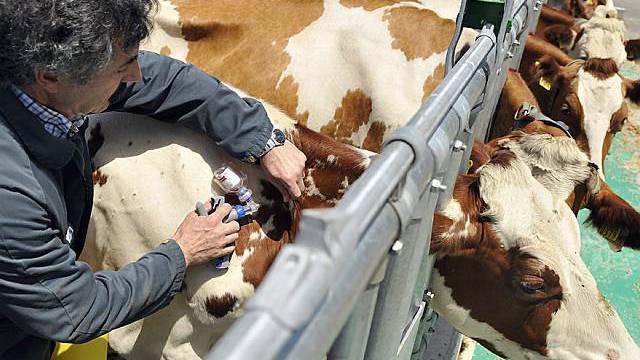 Ein Rind wird gegen die Blauzungenkrankheit geimpft