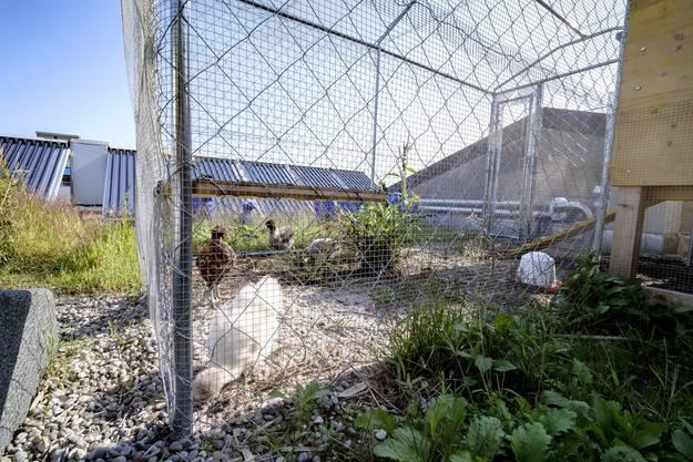 Hier leben drei Seidenhühner und ein Appenzeller Spitzhaubenhuhn.