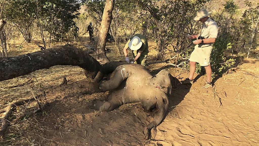 Inzwischen 22 tote Elefanten in Simbabwe – Kein Anthrax