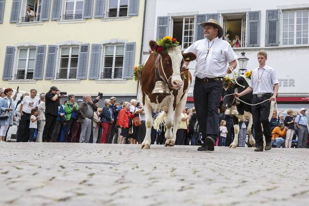 Mit den Kühen gehts durch die Altstadt.