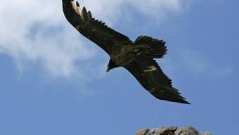 Ein Bartgeier fliegt seine Runden (Symbolbild)