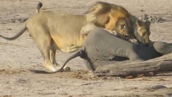 Brutale Natur: Löwen überwältigen jungen Elefanten.