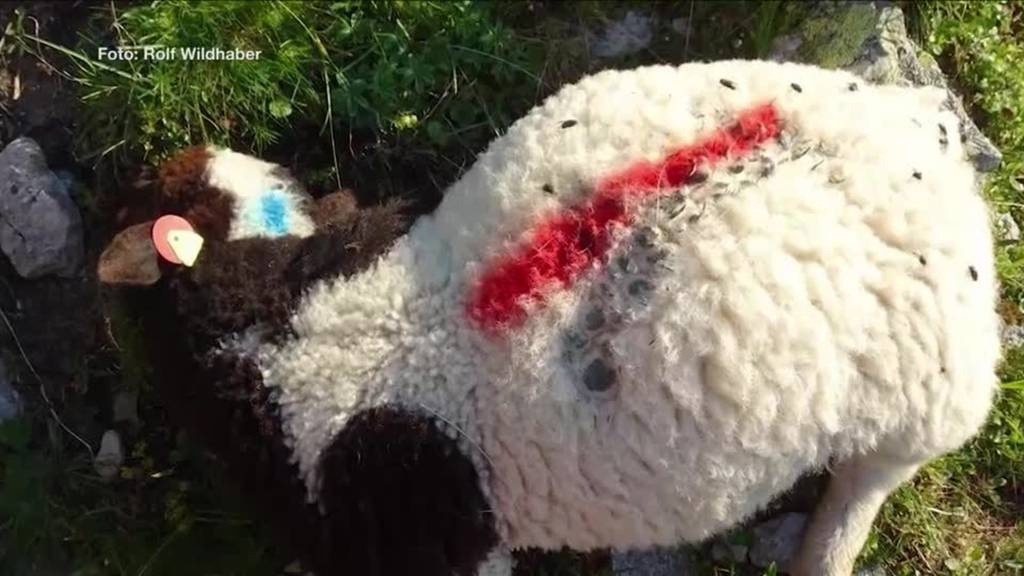 Schon wieder Wolfsattacke: 40 tote Schafe in nur 2 Wochen