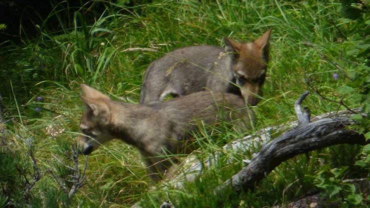 Die Jungwölfe am Calanda sind frech geworden und sollen mit Abschüssen wieder menschenscheuer gemacht werden.