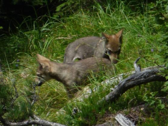 Jungwölfe am Calanda entdecken die Umgebung.
