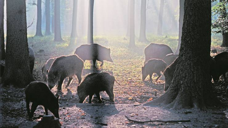 Kurz nach der Ausfahrt Attikon kam es zur Kollision mit einem Rudel Wildschweinen. (Symbolbild)