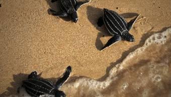 Junge Schildkröten an einem Strand - eine 32-jährige Ägypterin hat in Madagaskar vergeblich versucht, hunderte Schildkröten illegal ausser Landes zu bringen (Symbolbild)