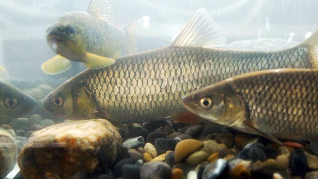 Ein Drittel aller Süsswasserfisch-Arten weltweit gefährdet