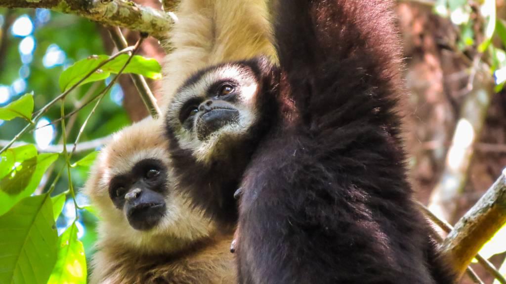 Gibbons singen besonders lange und komplexe Lieder, um etwa ihr Territorium zu verteidigen oder Artgenossen vor Feinden zu warnen.