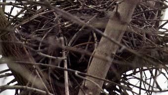 Blick auf ein Vogelnest: In der Schweiz schlüpfte ein seltener Vogel (Symbolbild)