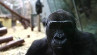 Die Gorillas im Zoo Zürich durften sich im letzen Jahr über viel Besuch freuen.