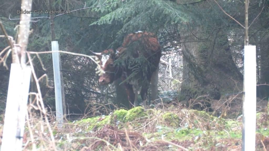 Ausgebüxte Kuh Spächtli nach über 3 Wochen gesichtet