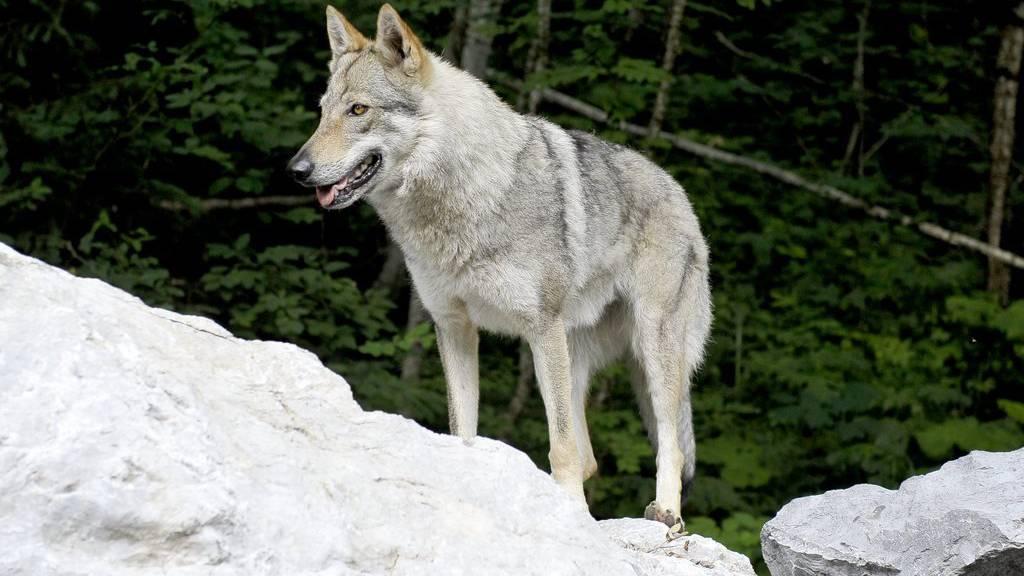 Im Thurgau sind mehrere gerissene Schafe gefunden worden. Hat sie ein Wolf getötet? (Symbolbild)